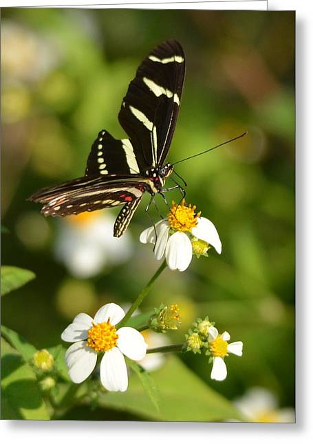Perched Zebra Longwing Greeting Card