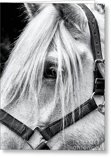Percheron Horse Greeting Card