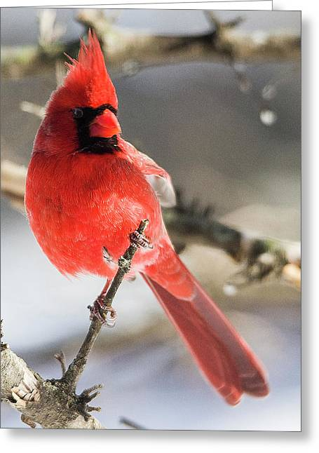 Perching Mister Cardinal Greeting Card