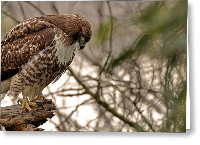 Perching Red Tail Hawk Greeting Card