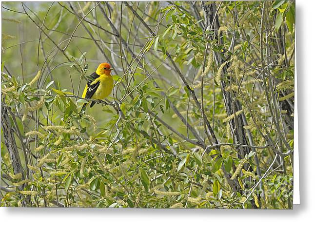 Perching Tanager Greeting Card by Dennis Hammer