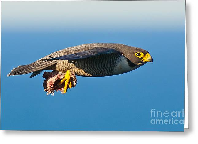Peregrine Falcon 2 Greeting Card by Michael  Nau