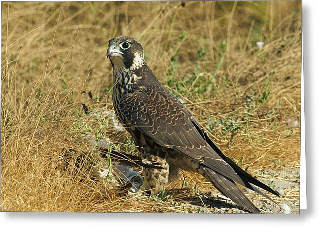 Peregrine Falcon Greeting Card by Doug Herr