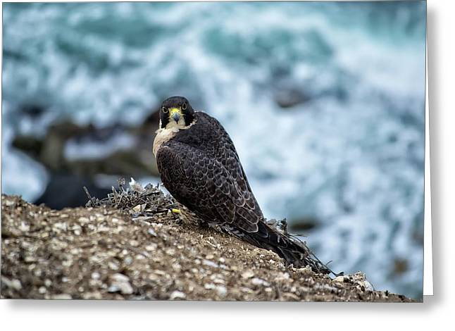 Peregrine Falcon - Here's Looking At You Greeting Card