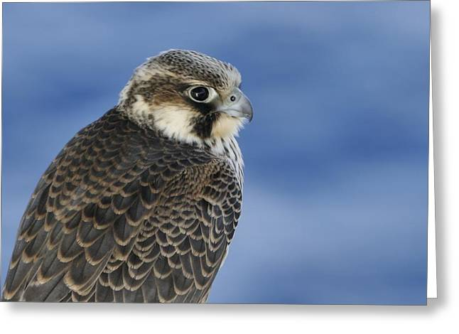 Greeting Card featuring the photograph Peregrine Falcon Juvenile Close Up by Bradford Martin