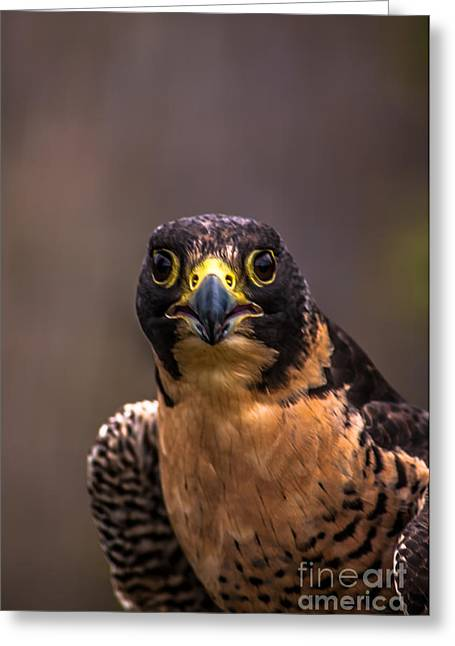 Peregrine Falcon Profile 2 Greeting Card