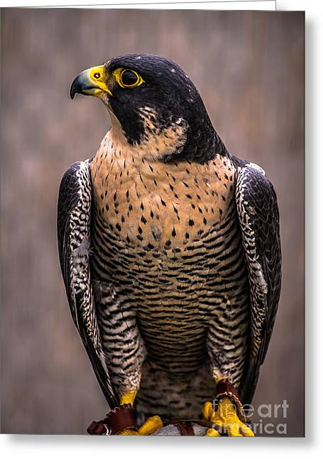 Peregrine Falcon Profile Greeting Card