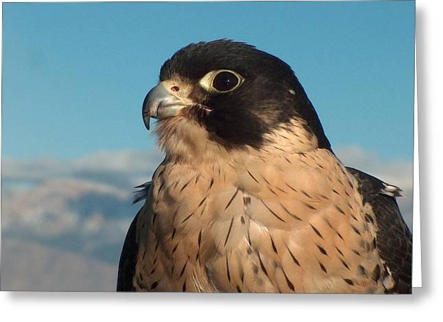 Peregrine Falcon Greeting Card by Tim McCarthy