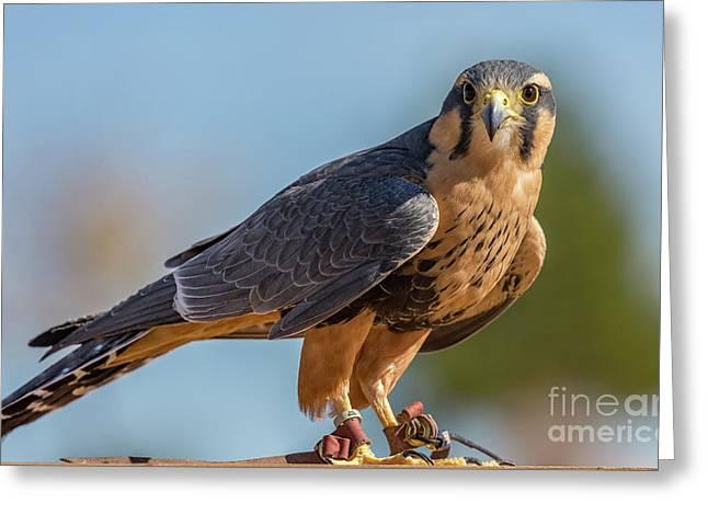 Peregrine Falcon Wildlife Art By Kaylyn Franks Greeting Card