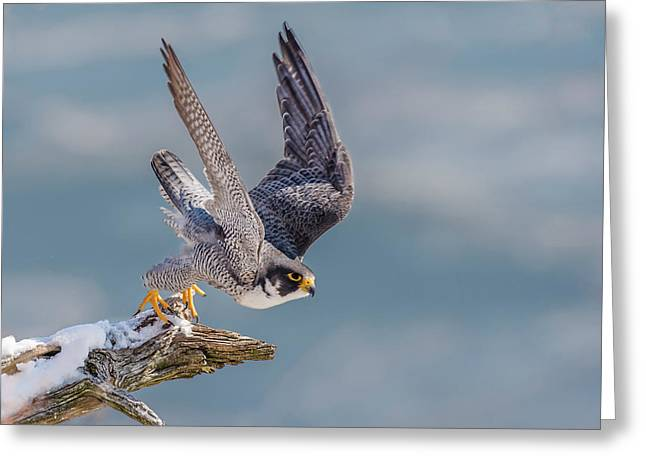 Peregrine, On Your Mark Greeting Card
