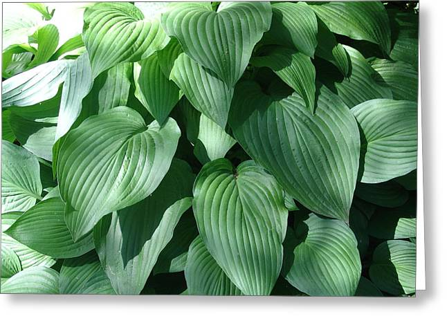 Perfect Hosta Greeting Card by Rod Ismay