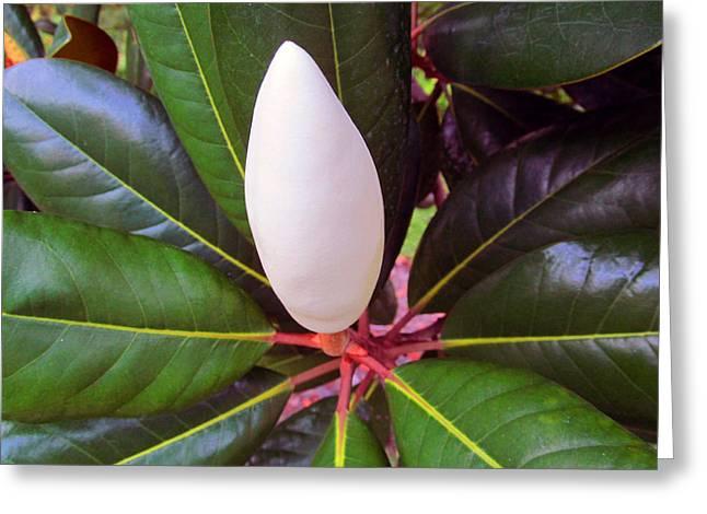 Perfect Magnolia Bud Greeting Card