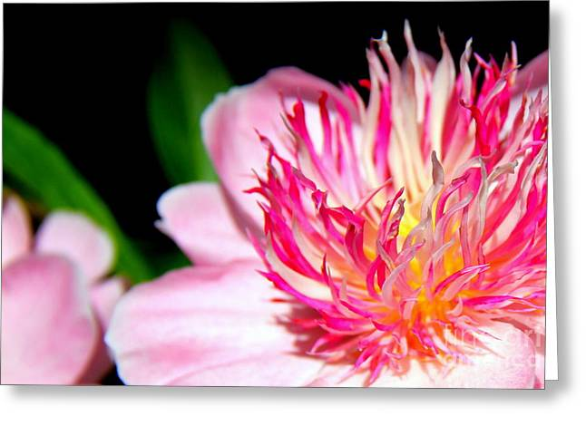Perfect Peony Greeting Card by Michele Hancock