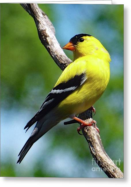 Perfect Pose - American Goldfinch Greeting Card by Cindy Treger