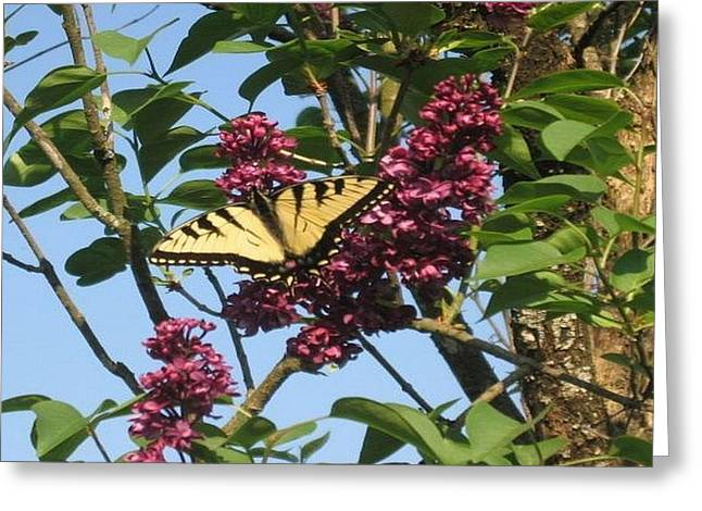 Yellow Swallowtail And Lilac Greeting Card