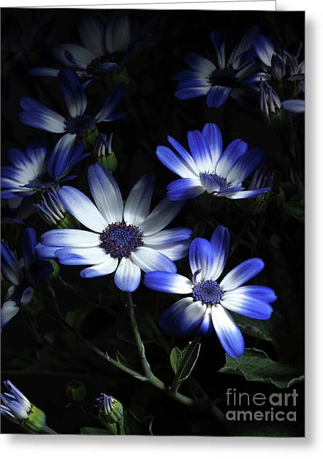 Pericallis From Out Of The Shadows 2 Greeting Card by Dorothy Lee