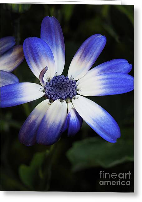 Pericallis From Out Of The Shadows 3 Greeting Card by Dorothy Lee
