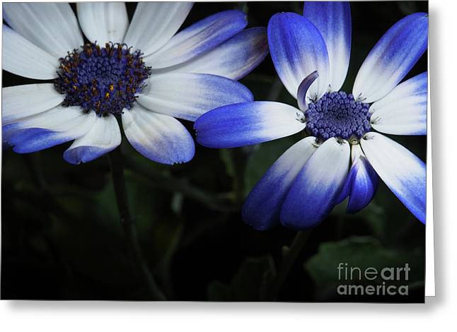 Pericallis From Out Of The Shadows Greeting Card by Dorothy Lee