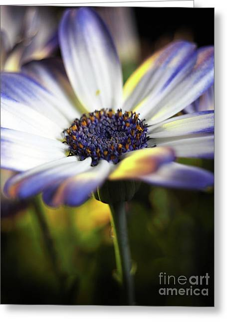 Pericallis Kissed By Golden Light Greeting Card by Dorothy Lee