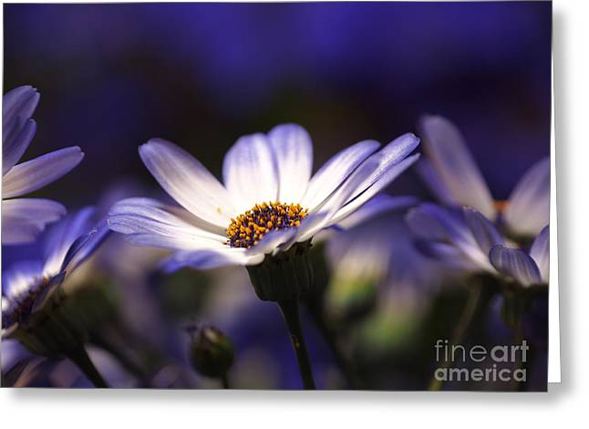 Pericallis On A Cool Spring Evening 2 Greeting Card by Dorothy Lee