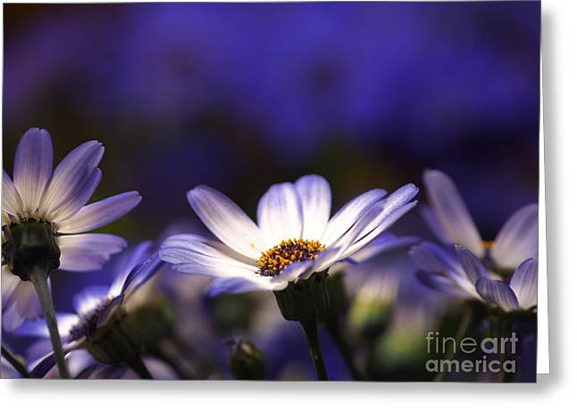 Pericallis On A Cool Spring Evening 4 Greeting Card by Dorothy Lee