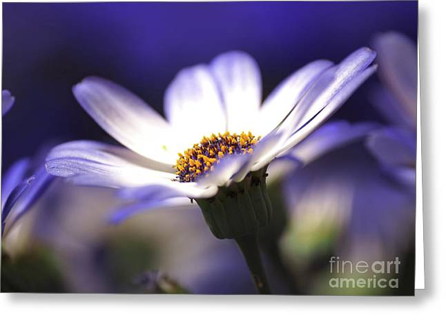 Pericallis On A Cool Spring Evening Greeting Card by Dorothy Lee