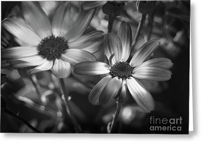Pericallis Senetti Blue Bicolor In Monochrome 2 Greeting Card by Dorothy Lee