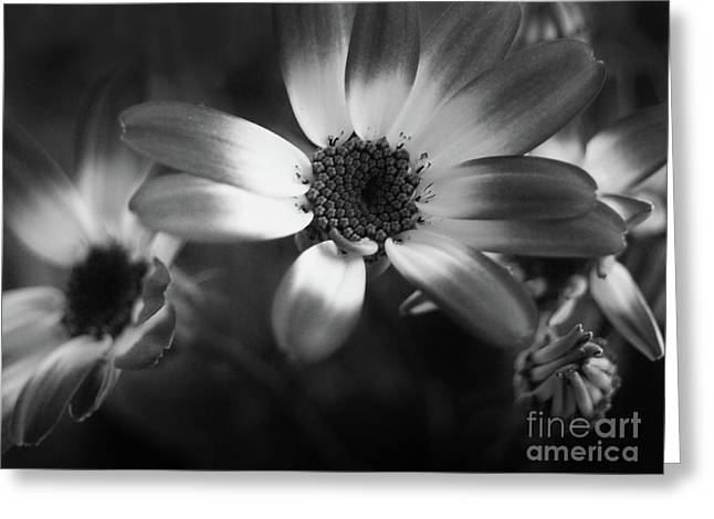 Pericallis Senetti Blue Bicolor In Monochrome 3 Greeting Card by Dorothy Lee