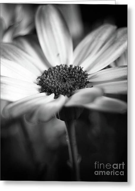 Pericallis Senetti Blue Bicolor In Monochrome 4 Greeting Card by Dorothy Lee