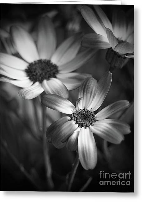 Pericallis Senetti Blue Bicolor In Monochrome Greeting Card by Dorothy Lee