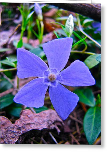 Periwinkle Flower Greeting Card by Lori Miller