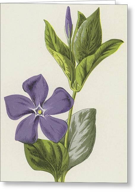 Periwinkle Greeting Card by Frederick Edward Hulme