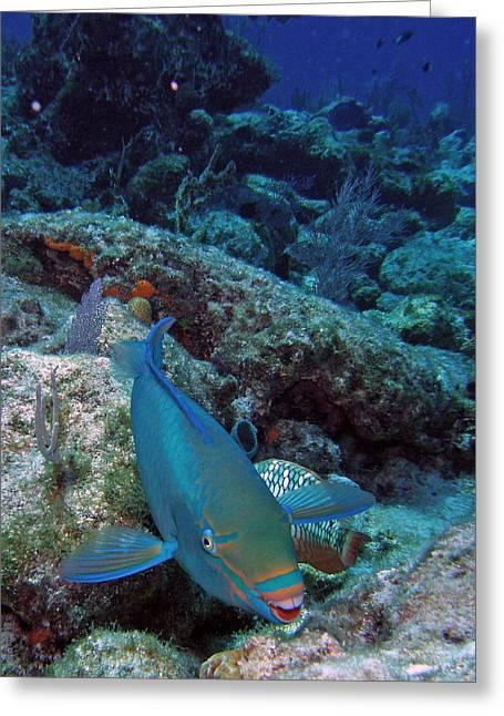 Perky Parrotfish Greeting Card by Kimberly Mohlenhoff