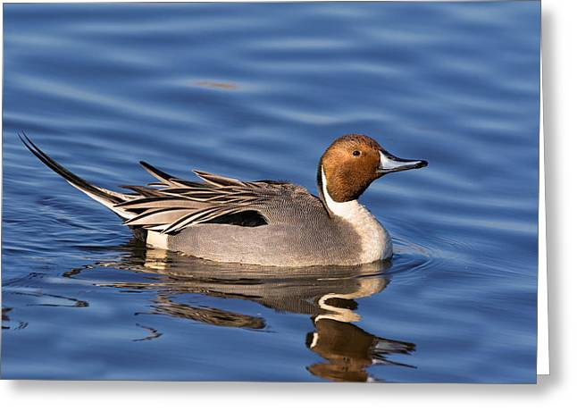 Perky Pintail Greeting Card