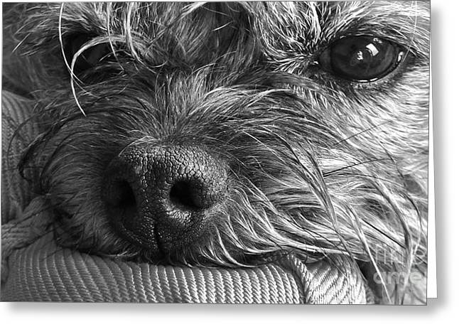 Greeting Card featuring the photograph Pet Portrait - Puck II by Laura Wong-Rose