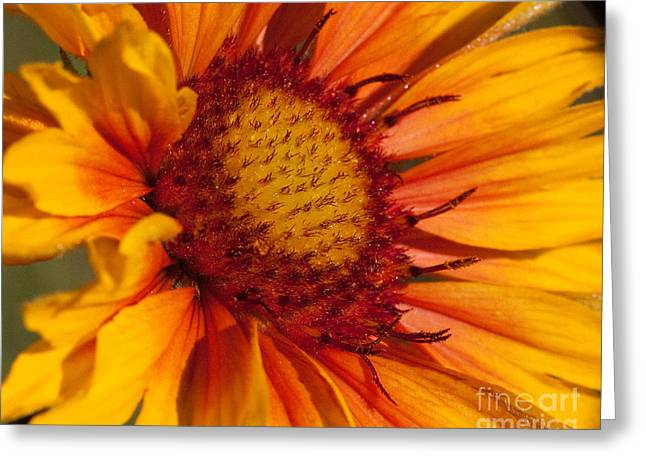 Petals Of Fire Greeting Card by Katie LaSalle-Lowery