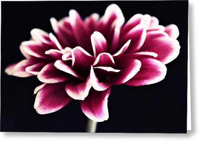 Petals Of The Mum Greeting Card by Cathie Tyler