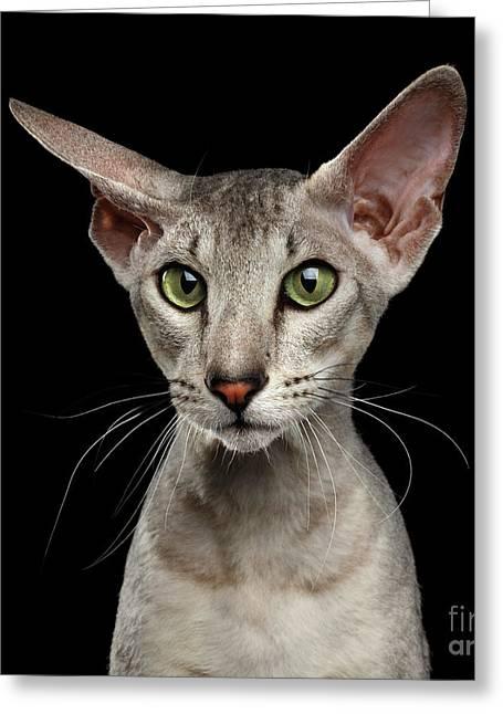 Peterbald Sphynx Cat On Black Background Greeting Card by Sergey Taran