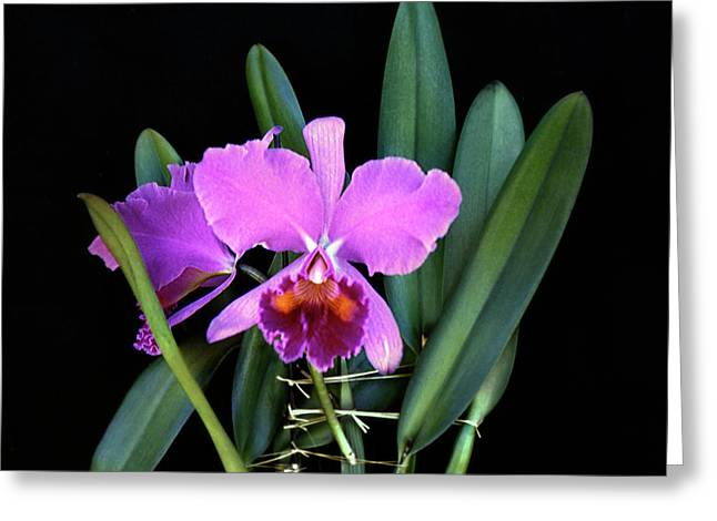 Petersii Orchid Vintage 1950s Greeting Card by Marilyn Hunt
