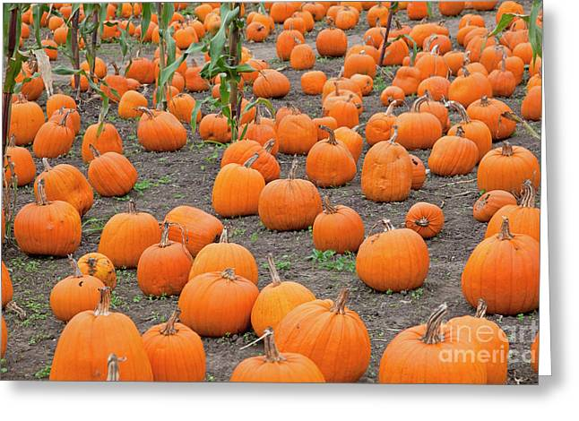 Recently Sold -  - Farm Stand Greeting Cards - Petes Pumpkin Patch Greeting Card by John Stephens