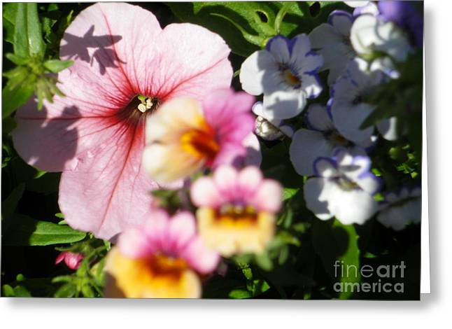 Petunia And Nemesia At Sunset Greeting Card