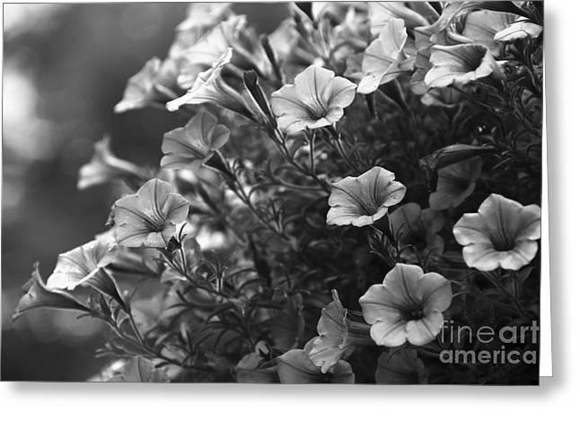 Petunias 2 Black And White Greeting Card by Marina McLain