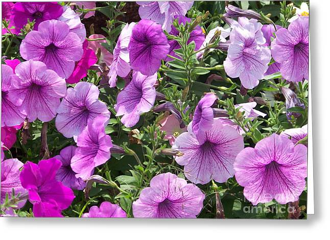 Petunias Greeting Card by Kevin Croitz