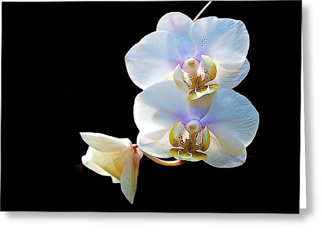 Phalaenopsis Culican #1 Nobby's Amy Shin Hua Greeting Card