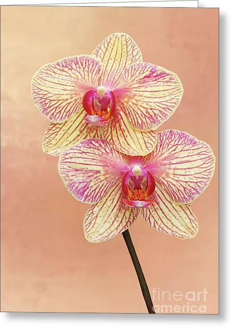 Phalaenopsis Moth Orchids #2 V2 Greeting Card