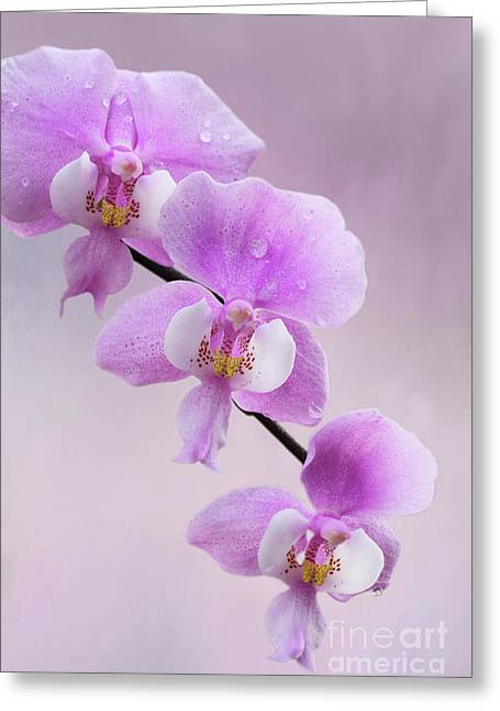 Phalaenopsis Schilleriana Fragrant Butterfly Orchid V2 Greeting Card