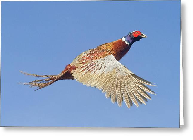 Pheasant Wings Greeting Card