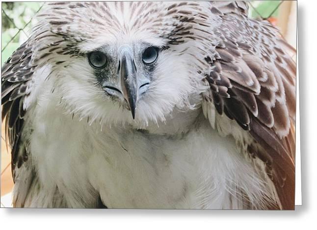 Philipine Eagle  Greeting Card by Benjie Cuevas