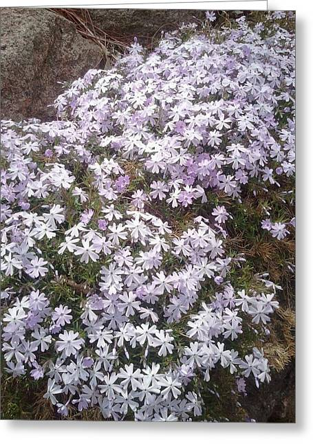 Phlox Blue Lilac Greeting Card
