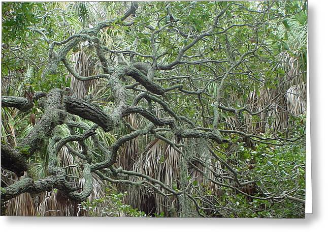 Photo Live Oak Fort Desoto Florida Greeting Card by Ray  Petersen